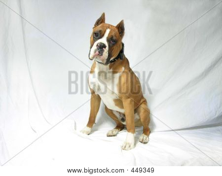 Sitting Male Boxer