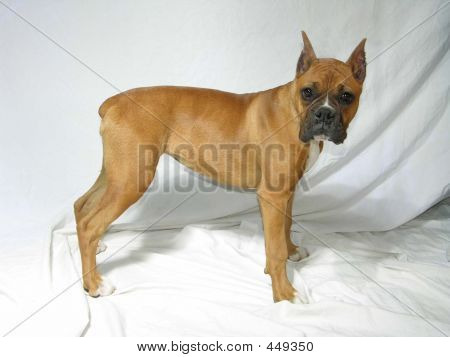 Female Boxer Standing