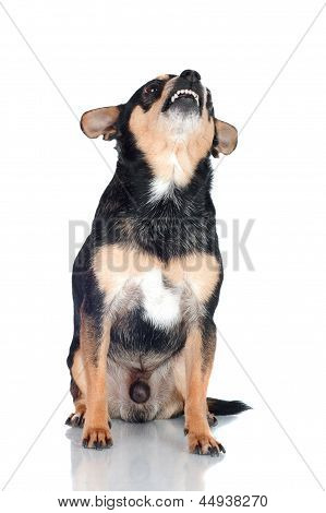 chihuahua dog vicious