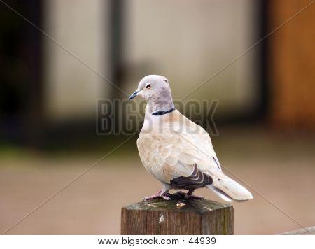 A Pigeon, Dove, Symbol Of Peace.