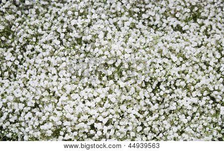 White Carnation