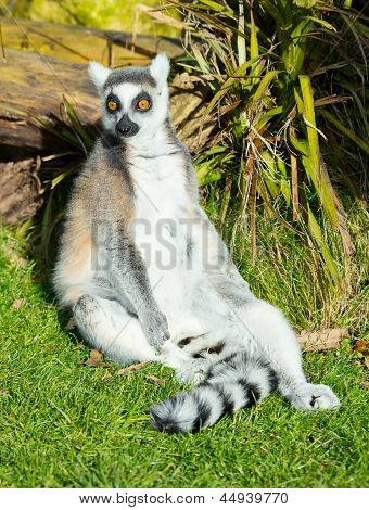 Ring-tailed Lemur Sitting On The Grass