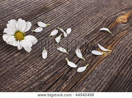 Beauty blossom of daisy on wooden surface background