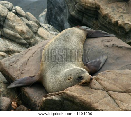 Sea Lion  On The Rocks