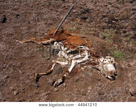 Decomposing Cow