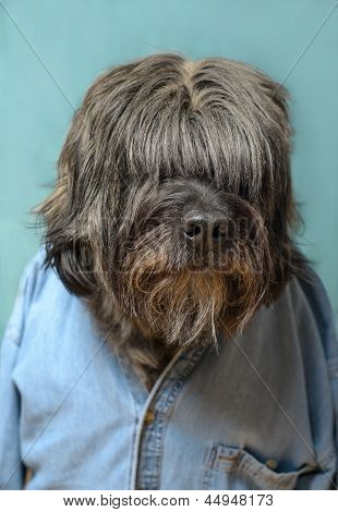 Large hairy dog with a blue denim shirt