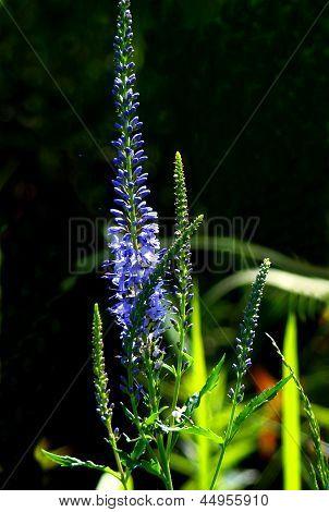 Flowers Of Altai