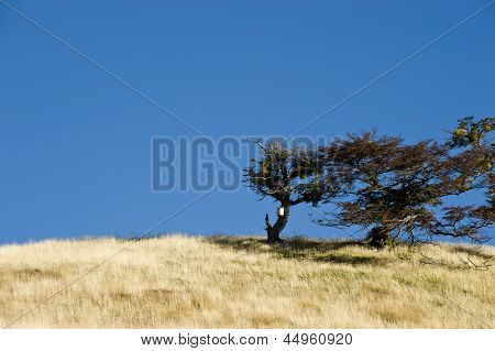 Tierra del Fuego. Patagonia. Tree Growing in the wind