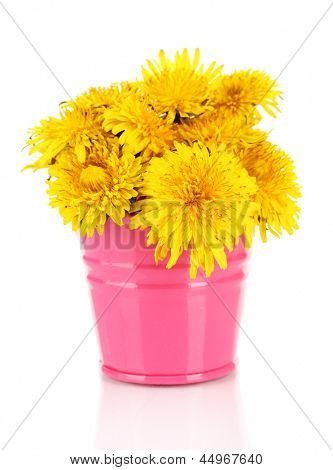Dandelion flowers in bucket isolated on white