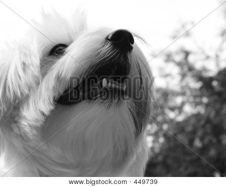 Black And White Maltese