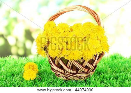Dandelion flowers in wicker basket on grass on bright background