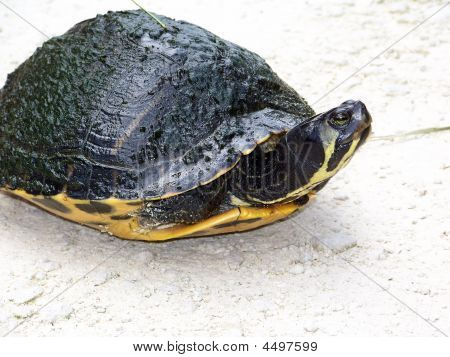 Turtle Crawling Back In Shell