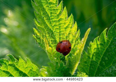 Fresh Green Nettle