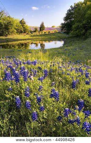 Bluebonnets In Front Of A Pond