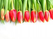 Red Colored Tulips