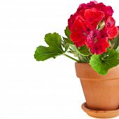 border of geranium flower in a clay pot isolated on white background
