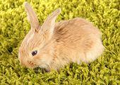 stock photo of dwarf rabbit  - Fluffy foxy rabbit on carpet close - JPG