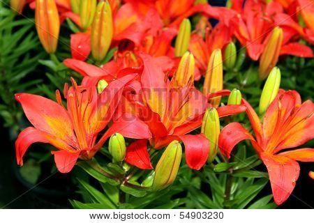 Flora Asiatic Lilies
