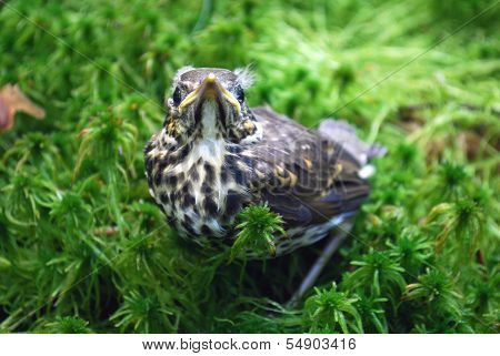 Nestling fledgling