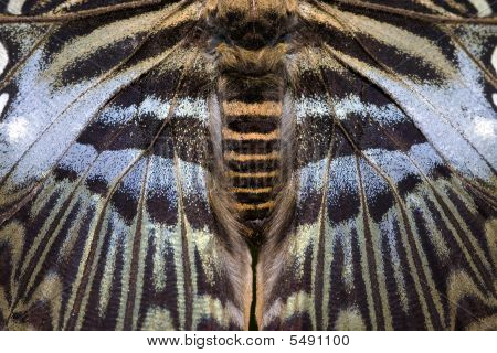 Blue Clipper Butterfly - Close Up
