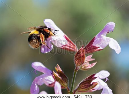 Bee And Sage