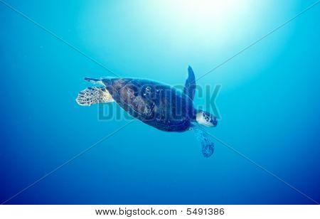 Ocean Turtle