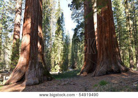 Mariposa Sequoias