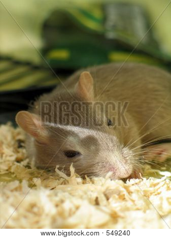 Pet Gerbil Sleeping