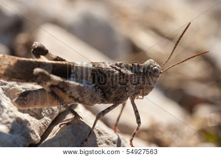 Brown Locust Close Up