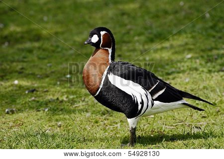 A portrait of a Red-Breasted Goose (Branta ruficollis).