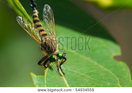 Robber Fly Head On