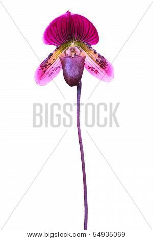 Lady's Slipper Orchid. Paphiopedilum Callosum Isolated On White Background For Multipurpose