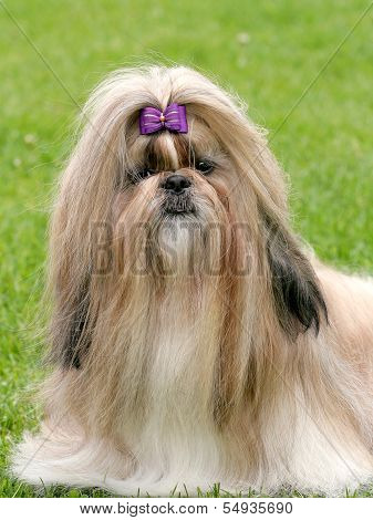 The Portrait Of Funny Shih Tzu Dog