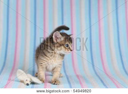 Cute Somali Kitten With Mouse