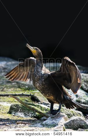 Great Cormorant Or Phalacrocorax Carbo