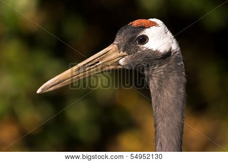 Red-crowned Japanese Crane