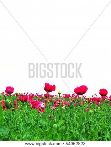 field of poppys