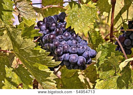 Grapes of the Chianti