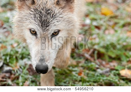 Blonde Wolf (Canis lupus) Horizontal Close Up Prowl