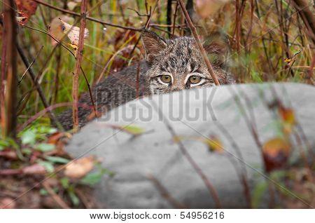 Bobcat Kitten (Lynx rufus) Hides Behind Rock