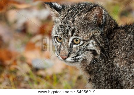 Bobcat Kitten (Lynx rufus) Stares Left