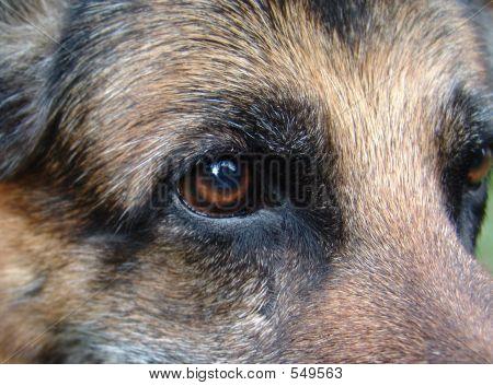 Deutsche Schäferhunde-Auge