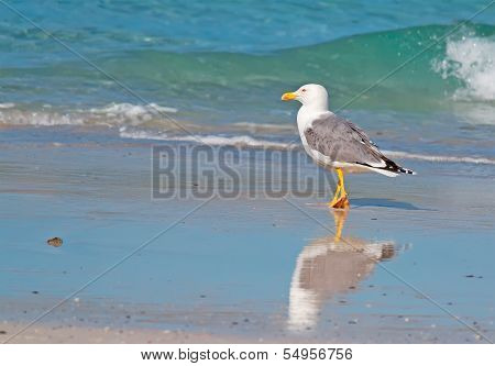 Seagull Walking By The Foreshore