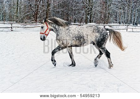 Gray horse going on winter snow.