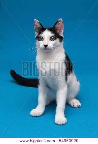 White Cat With Black Spots Teenager Sitting On Blue Background