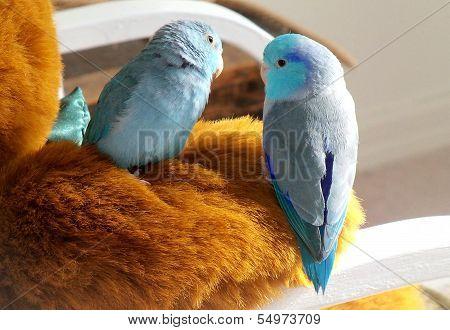 Pacific blue Parrotlet Birds