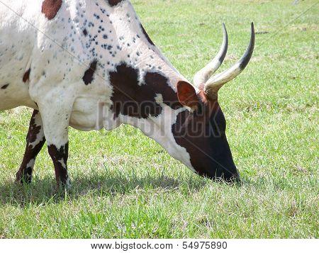 Longhorn Cow Bull livestock