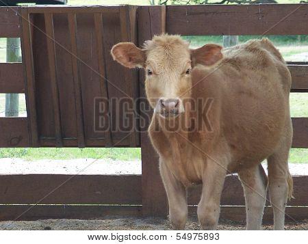 Cow on rural farmland