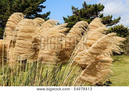 Pampas Grass Heads