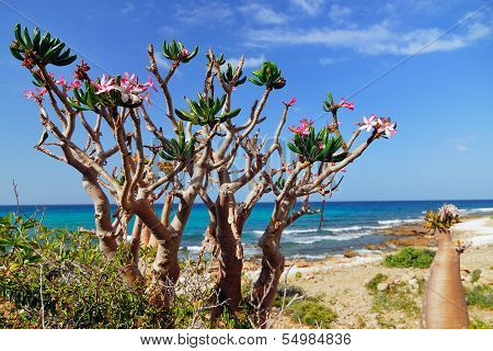 Socotra, Bottle Tree